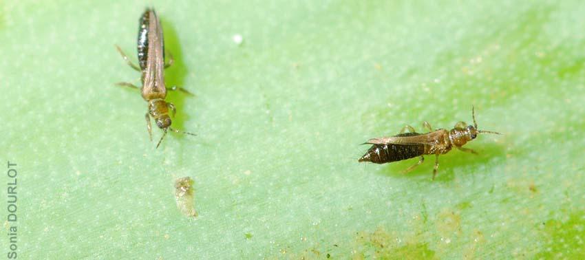 État des connaissances scientifiques sur différents insectes ravageurs de cultures légumières